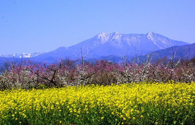 須坂市の桃畑